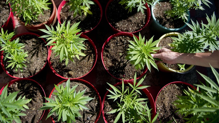 Colombia Weed Plants