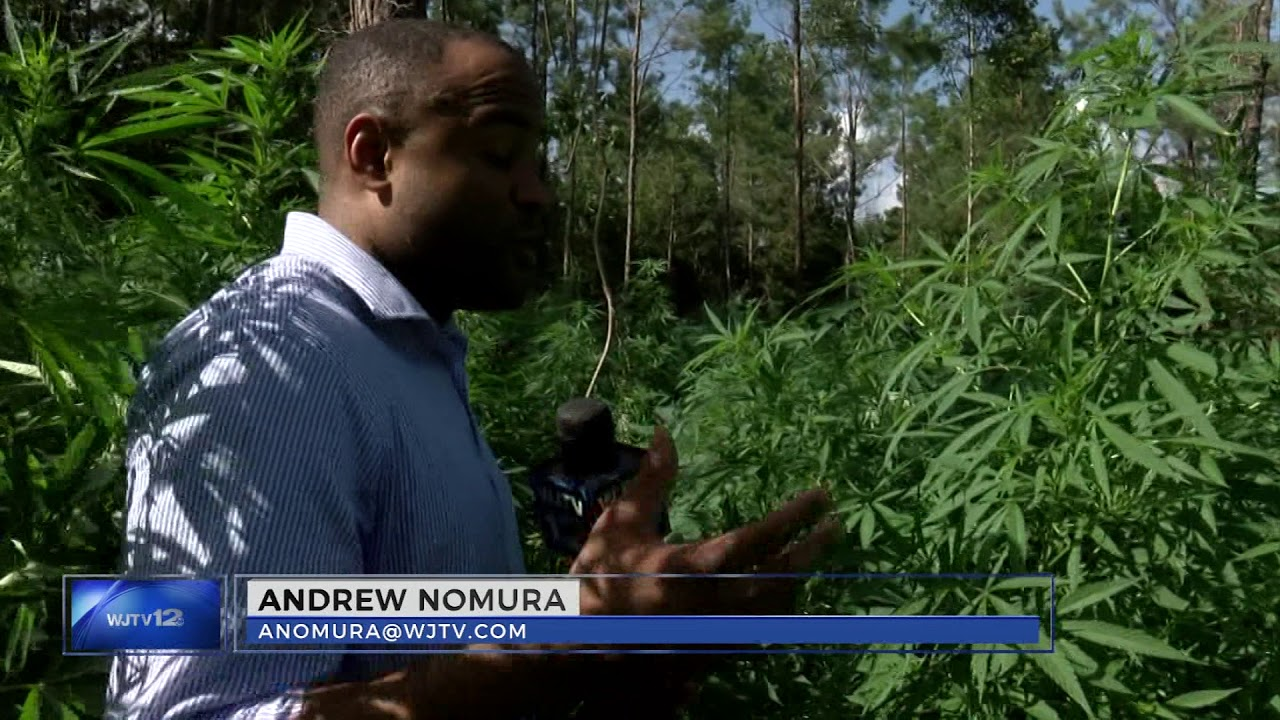 14,000 Weed Plants Discovered On 6 Acres Of Land In Mississippi